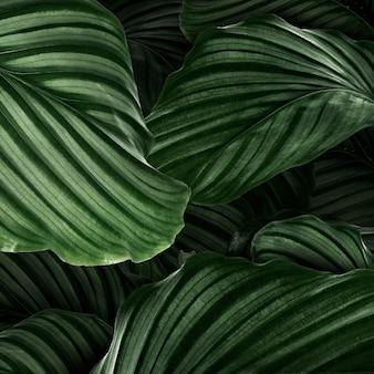 Calathea orbifolia zielone liście naturalne tło