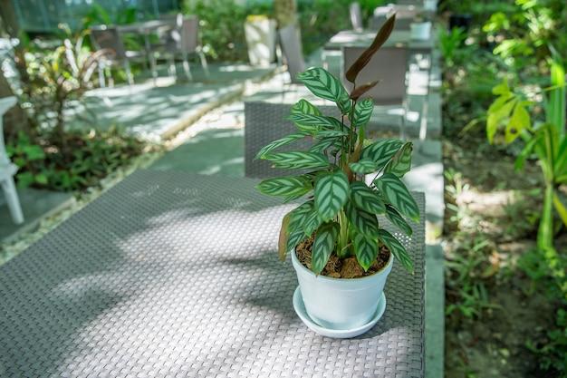 Calathea silver star do użytku w pomieszczeniach na stole, selektywne skupienie