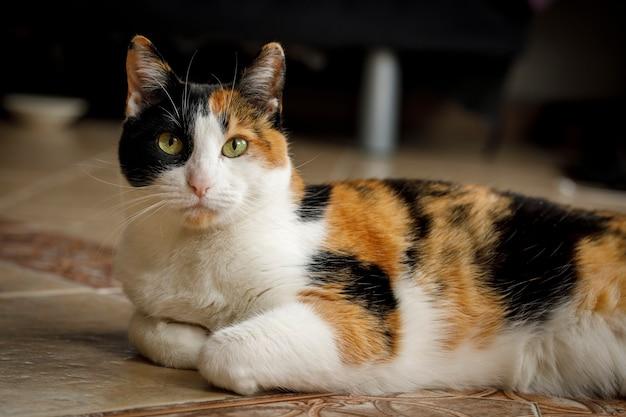 Calico kot odpoczywa na podłodze domu