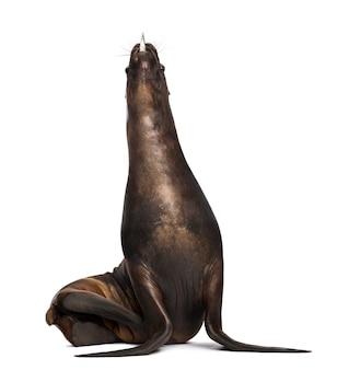 California sea lion, 17 lat, jedzący ryby na tle białej przestrzeni