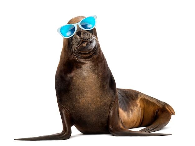 California sea lion, 17 lat, w okularach przeciwsłonecznych na tle białej przestrzeni