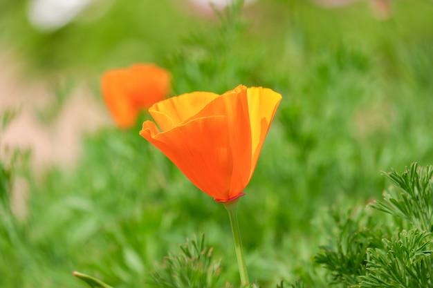 California złote kwiaty maku, pomarańczowy kwiat kwitnący w parku