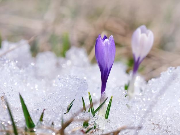 Całkiem dzikie fioletowe kwiaty