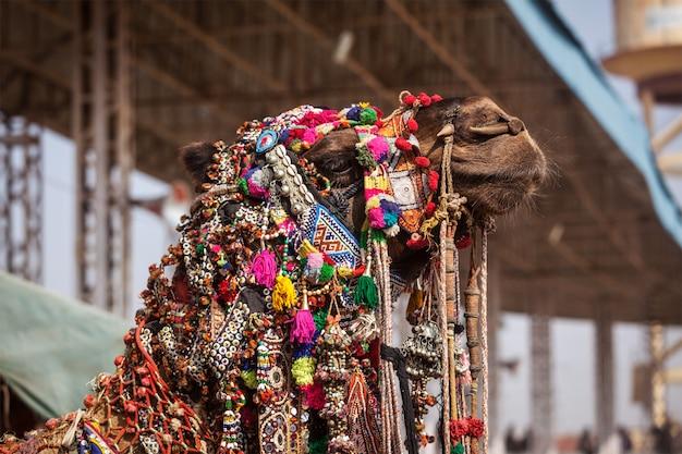 Camel at pushkar mela (pushkar camel fair), indie