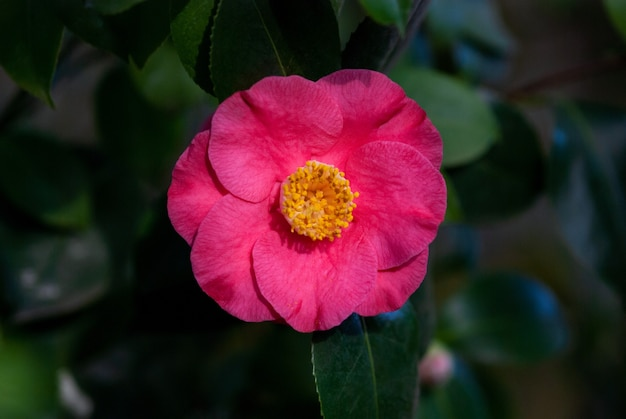 Camellia japonica - ashiya camelia pojedynczy kwiat na drzewie