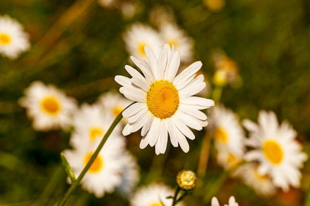 Camomiles - kwiaty białych rumianków na rysunkach z bliska