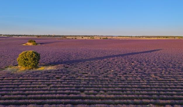 Campos de lavanda en brihuega a vista de dron