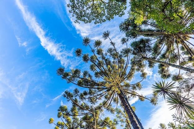 Campos do jordao, brazylia. drzewo araucari, bardzo typowe w mieście