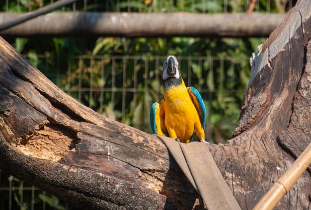 Caninde ara, piękne ary w ośrodku rehabilitacyjnym w brazylii przed powrotem do natury. naturalne światło, selektywne ustawianie ostrości.
