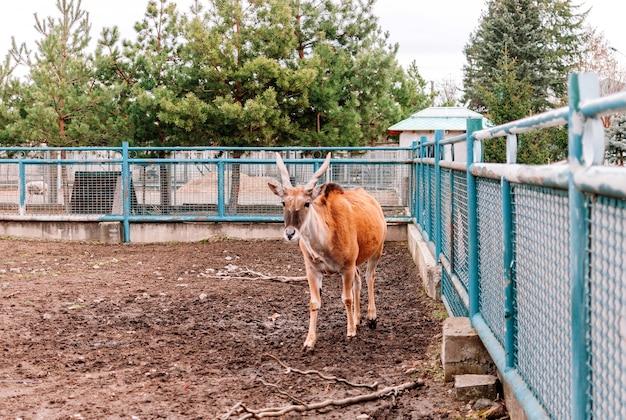 Canna vulgaris zagląda w kadr i przechodzi przez swój padok w zoo. największy gatunek antylop znaleziony we wschodniej i południowej afryce. rzadki gatunek ssaków.