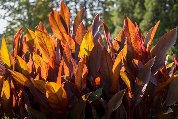 Canna x generalis z dużymi pięknymi podłużnymi blaszkami liści pomalowanymi na kolor ciemnofioletowy, fioletowy, ciemnozielony lub brązowo-czerwony