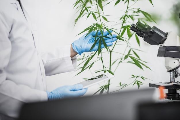 Cannabis scientist używa mikroskopu do badania korzyści marihuany w przemyśle medycznym i rekreacyjnym.