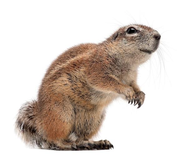 Cape ground squirrel, xerus inauris, stojący na tle białej przestrzeni