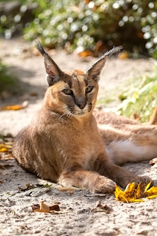 Caracal, portret