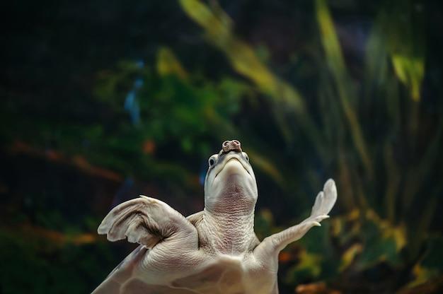 Carettochelys insculpta. świniowaty żółw pływa w akwarium.