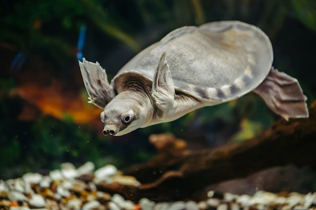 Carettochelys insculpta. wesoły żółw pływa pod wodą. śmieszne zwierzęta.