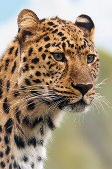 Carnivore koci kot myśliwy duży niebezpieczne