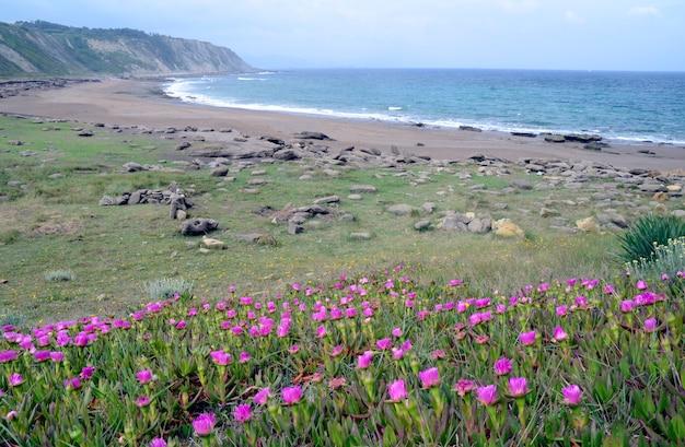 Carpobrotus edulis, inwazyjna roślina pochodząca z afryki południowej, atakująca plażę azkorri, vizcaya, kraj basków