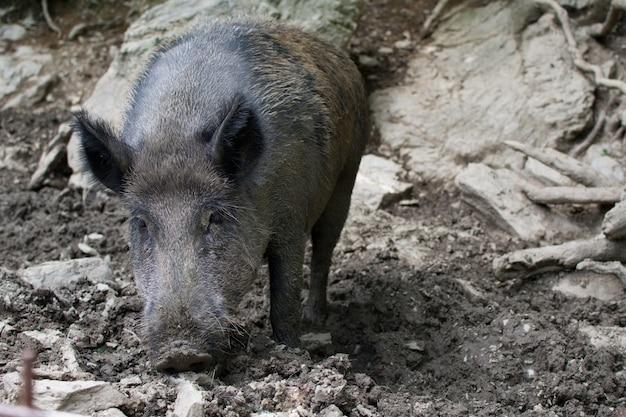 Catalan wild boar pig poszukiwanie żywności w mudzie w lasie