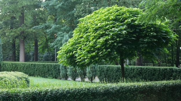 Catalpa z piękną koroną na zielonej trawie