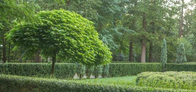 Catalpa z piękną koroną w parku