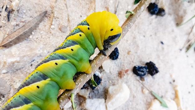 Caterpillar acherontia atropos, głowa hawk śmierci, znaleziona na wybrzeżu morza śródziemnego na drzewie.