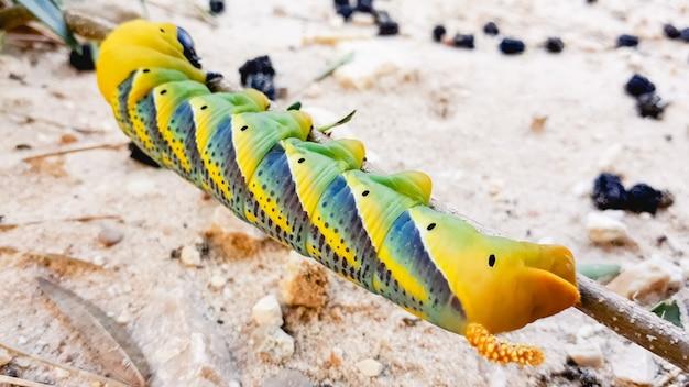 Caterpillar acherontia atropos, głowa jastrzębia śmierci.