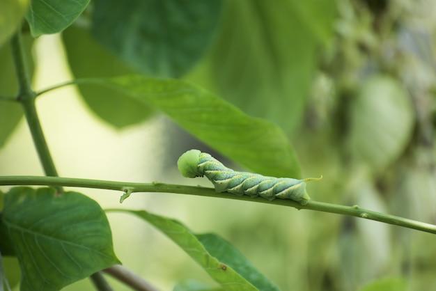 Caterpillar, duży zielony robak
