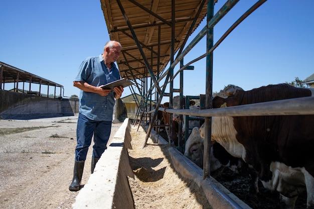 Cattleman kontrolujący grupę silnych, umięśnionych byków hodowlanych do produkcji mięsa w gospodarstwie ekologicznym.