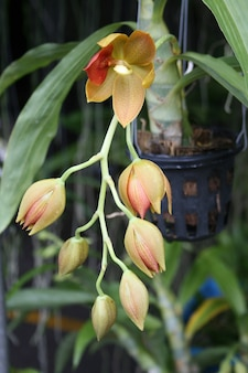 Cattleya czerwony żółty kwiat orchidei w rozkwicie