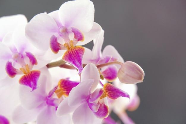 Cattleya labiata, znana również jako malina cattleya lub z rubinowymi ustami, jest typowym gatunkiem cattleya. cattleya orchidee na szarym tle