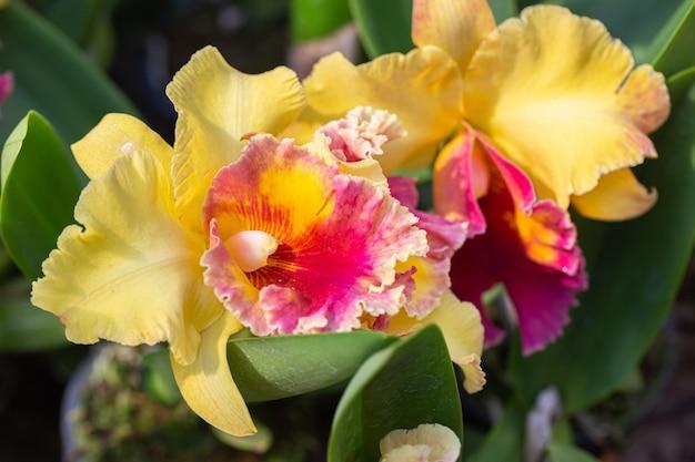 Cattleya storczykowy kwiat w ogródzie
