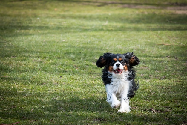 Cavalier king charles spaniel biegnie