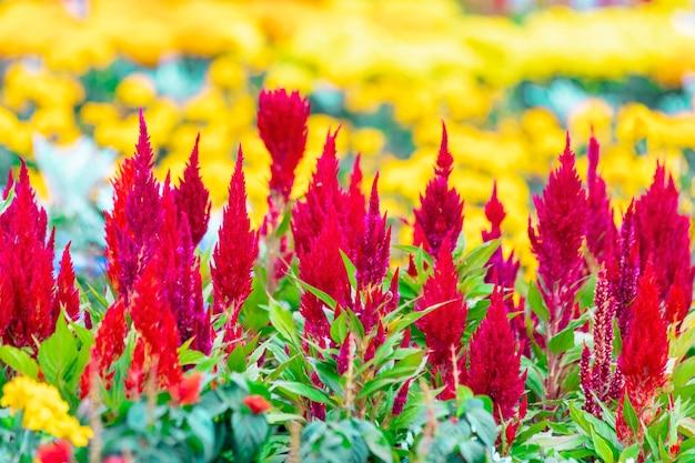 Celosia to niewielka roślina ozdobna z rodziny amarantusów