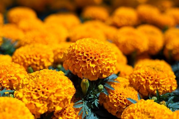 Cempasuchil żółte kwiaty nagietka cempazúchitl na ołtarze dnia zmarłego meksyku