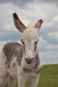 Cenne spojrzenie w twarz uroczego małego osła w custerze.