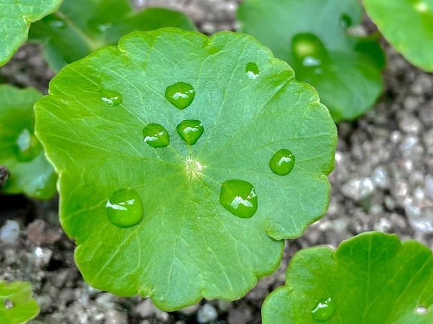 Centella asiatica rośliny lecznicze o właściwościach leczniczych