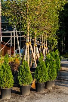 Centrum ogrodnicze z ozdobnymi, wiecznie zielonymi drzewami w donicach