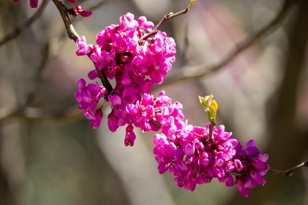 Cerisi chinensis znany jako chiński czerwony pączek fioletowy kwiat na gałęzi krzewu