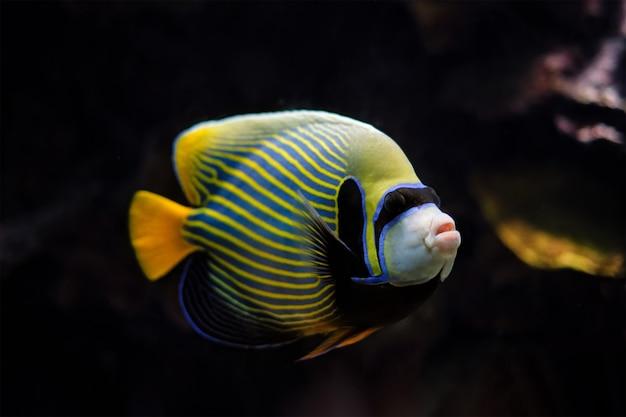 Cesarz skalary ryba pod wodą w morzu