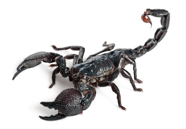 Cesarz skorpion - pandinus imperator