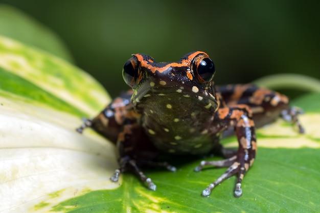 Cętkowana żaba potokowa siedząca na liściu monstera