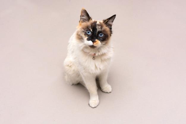 Cętkowany portret kota kot z cętkowanym futrem na białym tle