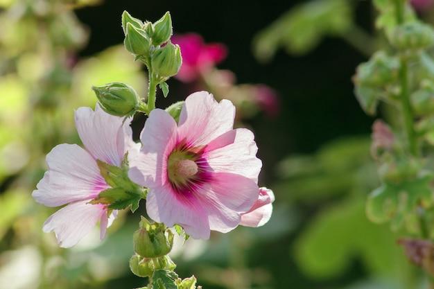 Cezar chwasty z owłosionymi cierniami irytującymi jest trującą rośliną