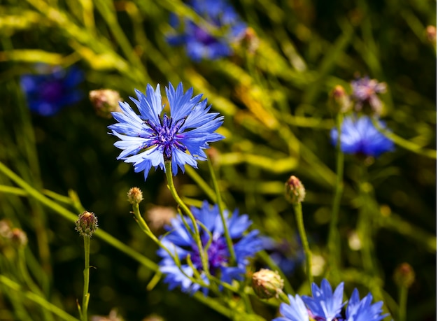 Chaber - chaber koloru niebieskiego przedstawiony z bliska