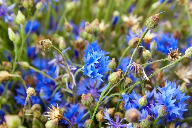 Chaber - świeże niebieskie dzikie kwiaty na letniej łące