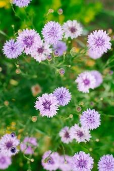 Chabry liliowe rosną na polu. widok z góry z bliska. selektywne ustawianie ostrości