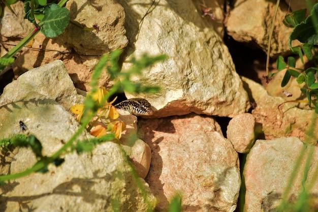 Chalcides ocellatus wyrastające z gniazda w skałach na maltańskim krajobrazie