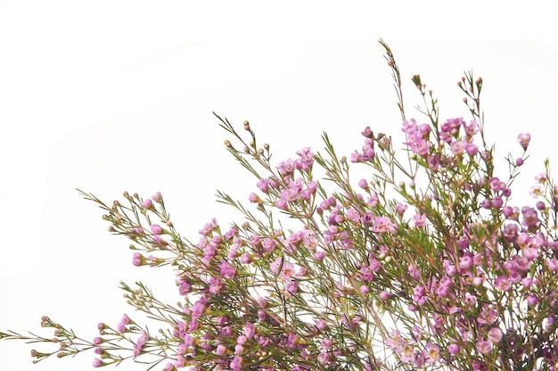 Chamelaucium uncinatum. granica kwiatowy.