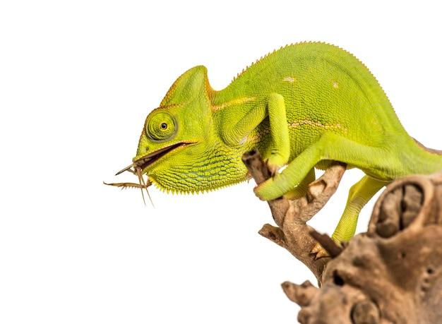 Chameleon, chamaeleo chameleon, żywiący się owadem przed białym